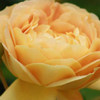 Picture of Golden Celebration-Rose