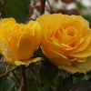 Picture of Golden Gift-Rose