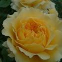 Picture of Golden Jubilee Std 80cm-Rose