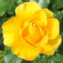 Picture of Golden Tribute-Rose