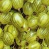 Picture of Gooseberry Invicta