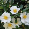 Picture of Gordonia Moonlight Magic