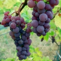 Picture of Grape Canadice