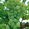 Picture of Grape Himrod