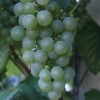 Picture of Grape Moores Diamond