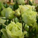 Picture of Green With Envy Std 45 cm-Rose