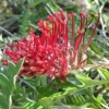 Picture of Grevillea Boongala Spineball