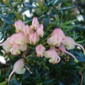 Picture of Grevillea Coral Baby