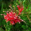 Picture of Grevillea Ember Glow