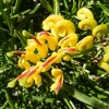 Picture of Grevillea Gold Rush
