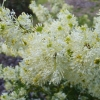 Picture of Grevillea White Wings