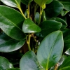 Picture of Griselinia Ardmore Emerald