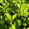 Picture of Griselinia Broadway Mint