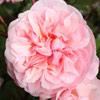 Picture of Gruss an Aachen Pink-Rose