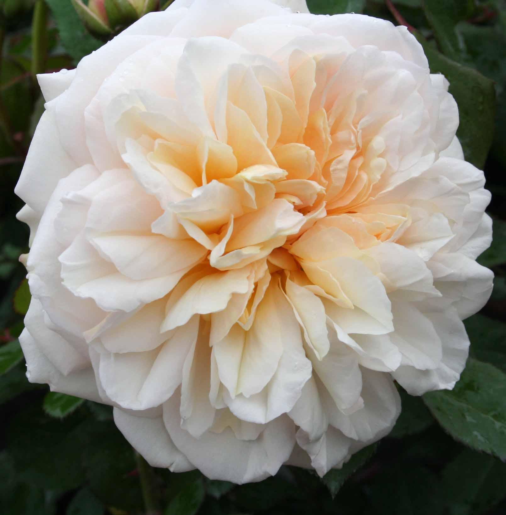 Picture of Gruss an Aachen Std 80cm-Rose