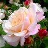 Picture of Gruss an Aachen-Rose