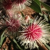 Picture of Hakea Laurina
