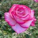 Picture of Handel Clg-Rose