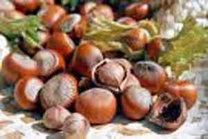 Picture of Hazelnut Campanica