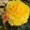 Picture of Heart of Gold-Rose