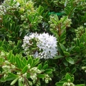 Picture of Hebe Buxifolia