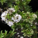 Picture of Hebe diosmifolia Minor