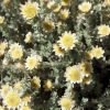 Picture of Helichrysum Graham Patterson