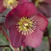 Picture of Helleborus Annas Red
