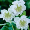 Picture of Helleborus Betty Ranicar