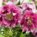 Picture of Helleborus Elly