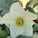 Picture of Helleborus Ice N Roses White