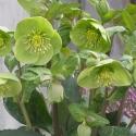 Picture of Helleborus Illumi Lime