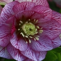 Picture of Helleborus Lilly