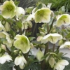 Picture of Helleborus Mollys White