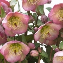 Picture of Helleborus Olivias Joy