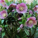 Picture of Helleborus Pink