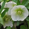 Picture of Helleborus White Hybrids