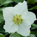 Picture of Helleborus White Magic