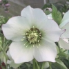 Picture of Helleborus White Picotee