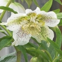 Picture of Helleborus White Tutu