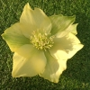 Picture of Helleborus Yellow Single