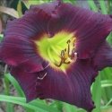 Picture of Hemerocallis Black Ambrosia