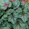 Picture of Heuchera Peppermint Spice