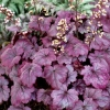 Picture of Heuchera Plum Royal