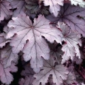 Picture of Heucherella Plum Cascade