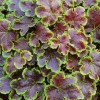 Picture of Heucherella Solar Eclipse