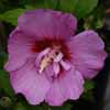 Picture of Hibiscus Coelestrus