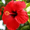 Picture of Hibiscus Ruby