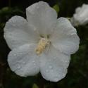 Picture of Hibiscus Snowdrift STD