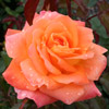 Picture of Honey Child-Rose
